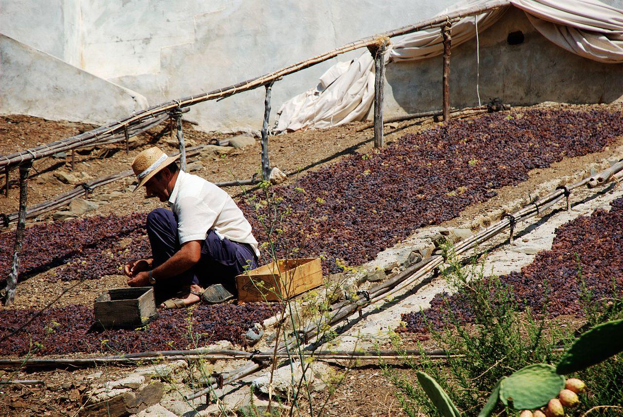 Μέθοδος Passerillage χωρίς στράγγισμα στην Μάλαγα, η ξήρανση δίνει ένα κοκκινωπό-καφέ χρώμα στο λευκό σταφύλι.
