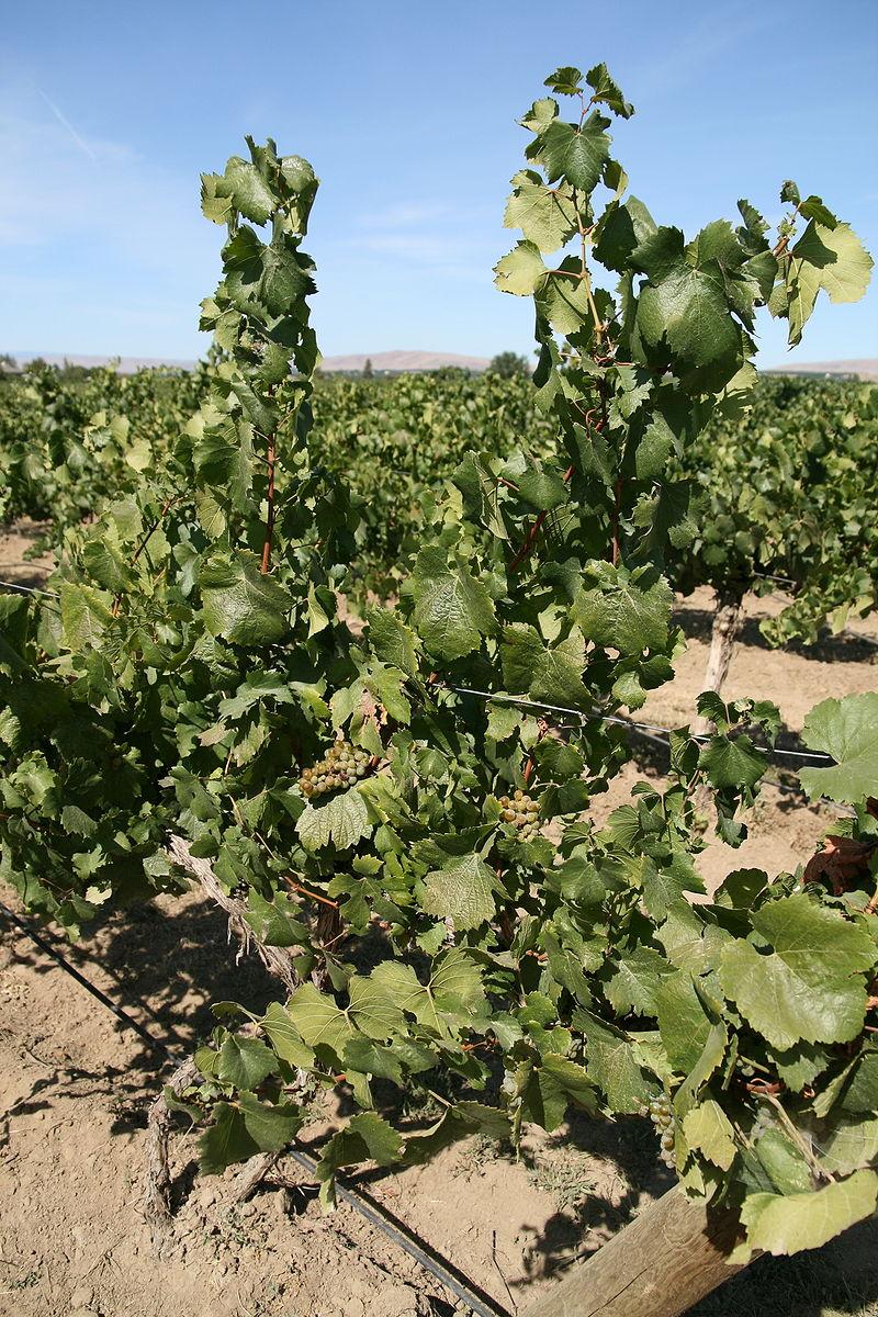 Αμπέλια παραγωγής για Λευκά Κρασιά