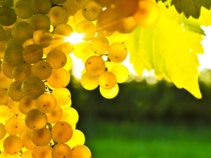 Λευκό Κρασί Παρασκευή